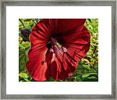 Dinner Plate Hibiscus Framed Print by Christopher Holmes
