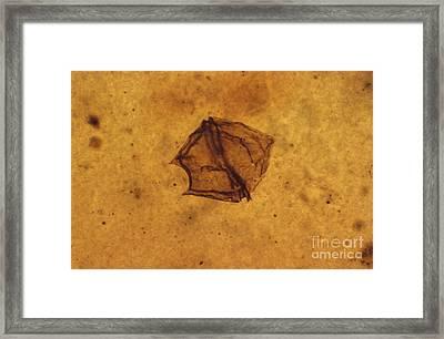 Dinoflagellate Fossil Framed Print by Eric V. Grave
