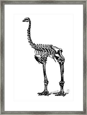 Dinornis, Giant Moa, Cenozoic Bird Framed Print