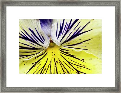 Dirty Pansy Framed Print