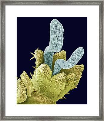 Disc Floret, Sem Framed Print by Steve Gschmeissner