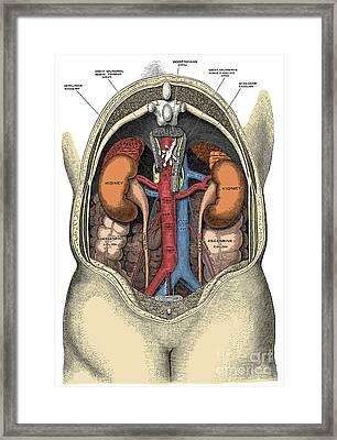 Dissection Of The Abdomen Framed Print by Science Source