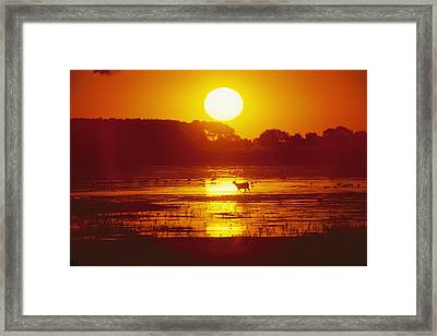 Distant Deer Silhouetted In A Marsh Framed Print by Amy White & Al Petteway