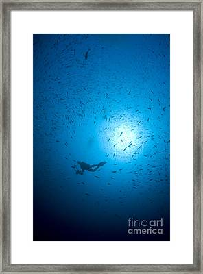 Diver And School Of Fish In Blue Water Framed Print by Mathieu Meur
