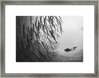 Diver And Schooling Blackfin Barracuda Framed Print by Steve Jones