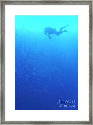Diver By School Of Pelican Barracudas Framed Print by Sami Sarkis
