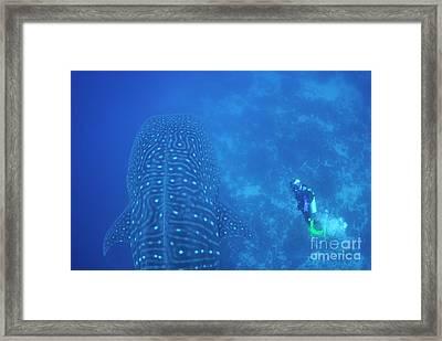 Diver Filmming A Whale Shark Framed Print by Sami Sarkis