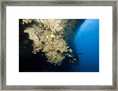 Diver Next To A Coral Fan Sheltering Framed Print by Tim Laman