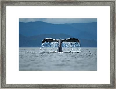 Diving Humpback Whale, Alaska Framed Print by Paul Souders