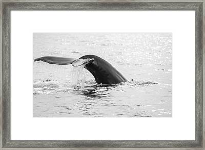 Diving Humpback Whale Framed Print by Ian Gethings