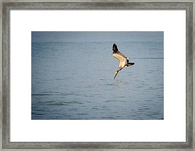 Diving Pelican Framed Print by Mike Rivera
