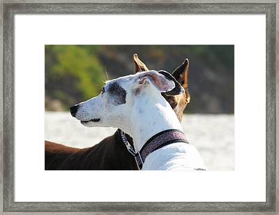 Doberman And Greyhound Staredown Framed Print by Renae Laughner