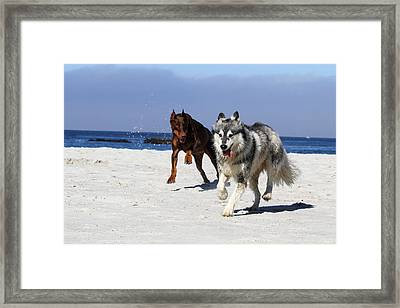 Doberman And Husky Play Framed Print by Renae Laughner
