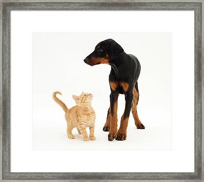 Doberman And Kitten Framed Print by Jane Burton