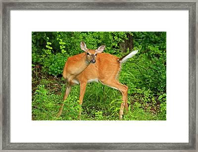 Doe A Deer Framed Print by Karol Livote