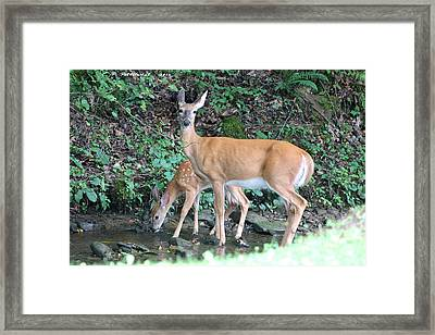 Doe And Fawn In The Creek Framed Print by Carolyn Postelwait