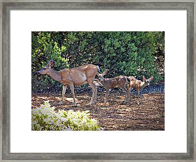 Doe And Twin Fawns Framed Print