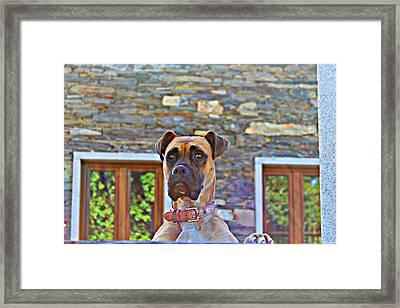 Dog Buldog Framed Print by Jenny Senra Pampin