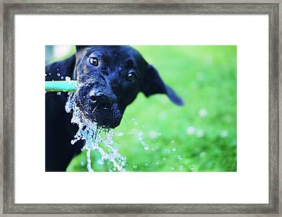 Dog Drinking From A Water Hose Framed Print