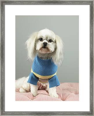 Dog In Sweater Sitting On Cushion Framed Print by Ryan McVay