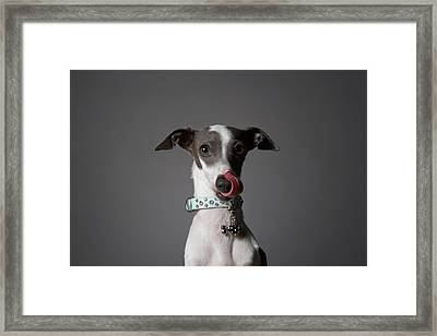 Dog Licking His Nose Framed Print by Chris Amaral