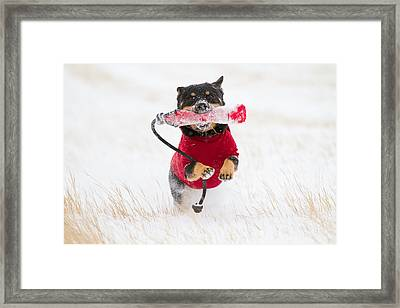 Dog Playing In Snow Framed Print by Paws on the Run Photography
