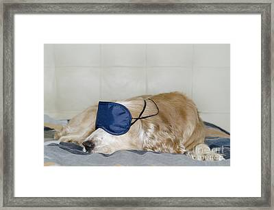 Dog Sleeping With A Sleep Mask Framed Print by Mats Silvan