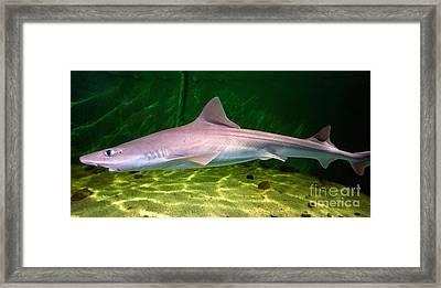 Dogfish Shark In Aquarium Framed Print