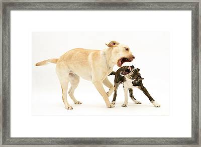 Dogs Playing Framed Print by Mark Taylor