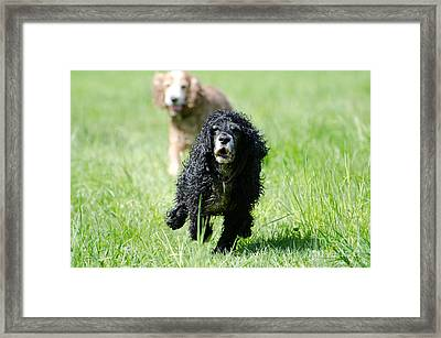 Dogs Running On The Green Field Framed Print by Mats Silvan