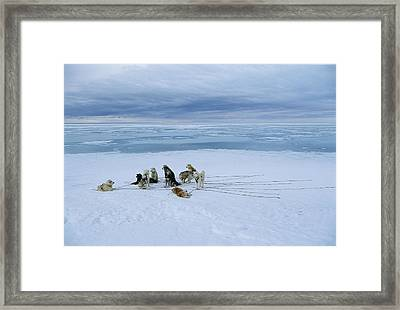 Dogsled Dogs At Rest Framed Print by Norbert Rosing