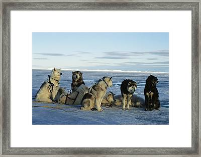 Dogsled Dogs Harnessed And Ready Framed Print