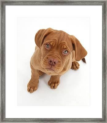 Dogue De Bordeaux Puppy Framed Print by Mark Taylor