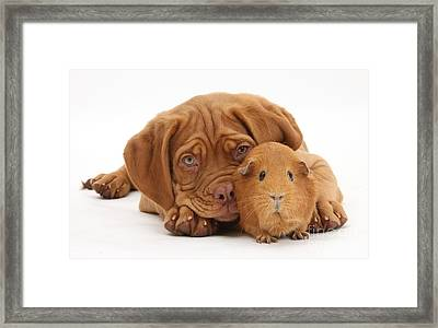 Dogue De Bordeaux Puppy With Red Guinea Framed Print by Mark Taylor