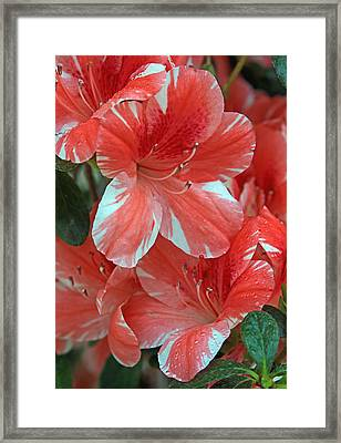 Framed Print featuring the photograph Dogwood Azalea After Rain by Larry Nieland