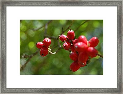 Dogwood Berries Framed Print by Beverly Hammond