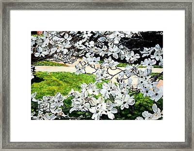 Dogwood Blooms In A Virginia Church Yard Framed Print by Thomas Akers