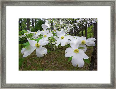 Dogwood Blooms Framed Print by Tony Gayhart