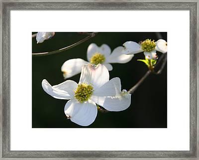 Dogwood Blossom Framed Print by Paula Tohline Calhoun