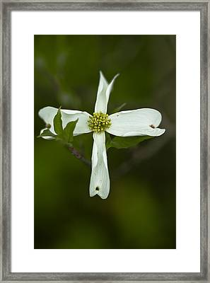 Dogwood Cross Framed Print