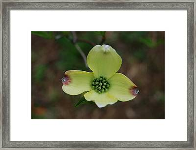 Dogwood Flower Framed Print