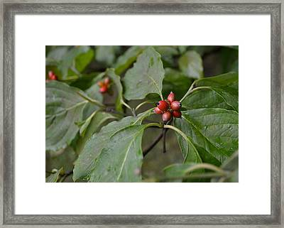 Framed Print featuring the photograph Dogwood by Mary Zeman