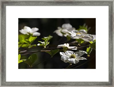 Dogwoods Framed Print