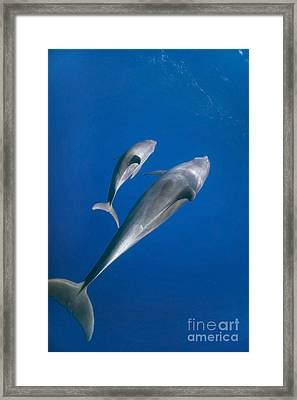 Dolphin And A  Cub Framed Print by Tom Peled