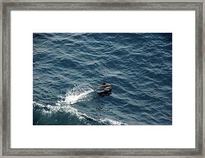 Dolphin Dive  Framed Print