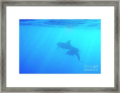 Dolphin Mother And Calf Framed Print by Sami Sarkis