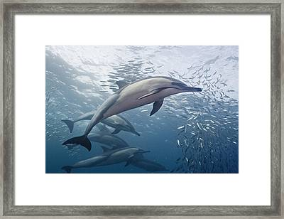 Dolphins And Sardines Framed Print