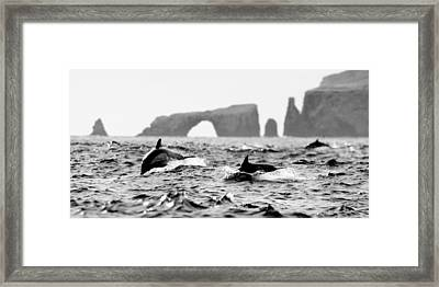 Dolphins At Anacapa Arch Framed Print by Steve Munch