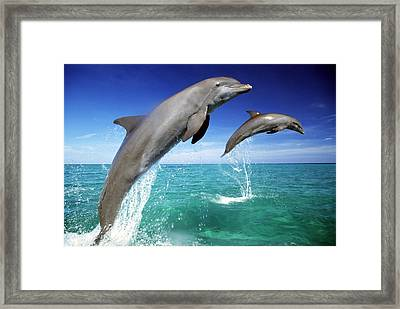 Dolphins, Tursiops Truncatus, Two Leaping Out Of Sea Framed Print by Mike Hill