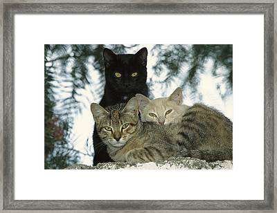 Domestic Cat Felis Catus Group Framed Print by Konrad Wothe